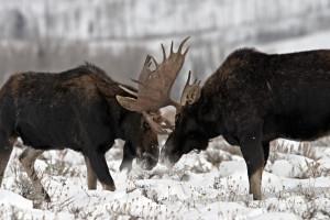 moose-fight_shutterstock_2201174