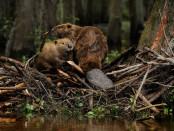 Открытие охоты на бобра, ондатру, норку в Республике Татарстан в 2014 году