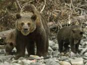 Медведь как опасный зверь