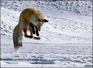 Манки-вабы на лису и волка