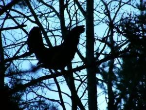 глухарь токует на дереве