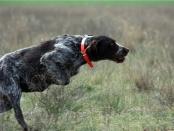 23-24 мая 2015 г. Межрегиональные межпородные сертификатные состязания среди континентальных легавых собак по комплексу (полевой, болотной - луговой дичи и кровяному следу) ранга САСТ