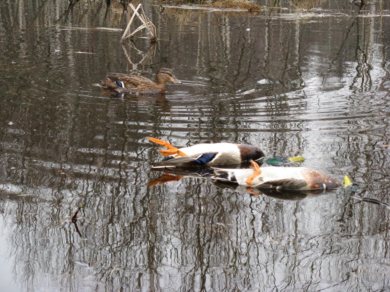 Выбор подсадной утки для весенней охоты. Какая порода лучше?