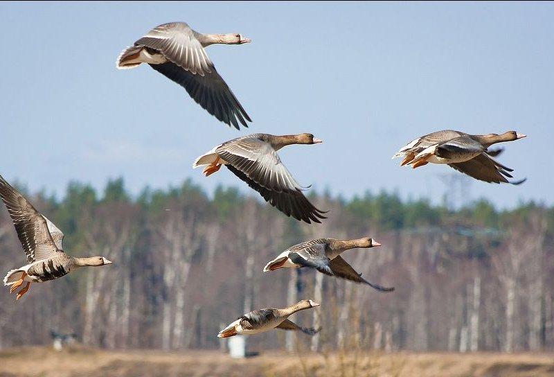 Охота на гуся на перелетах
