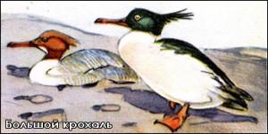 utki-kroxal-bolshoii