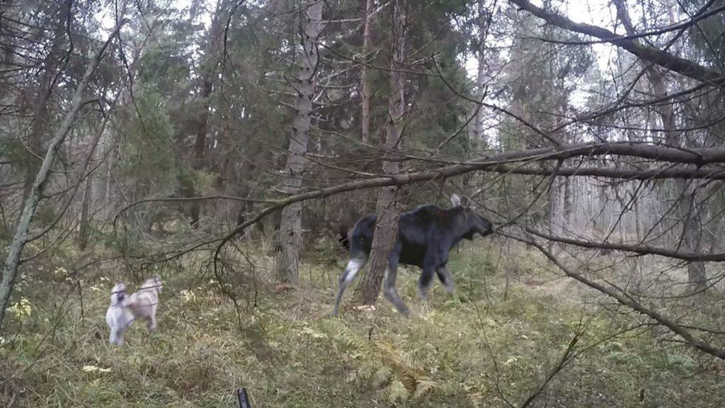 охота на лося для новичков